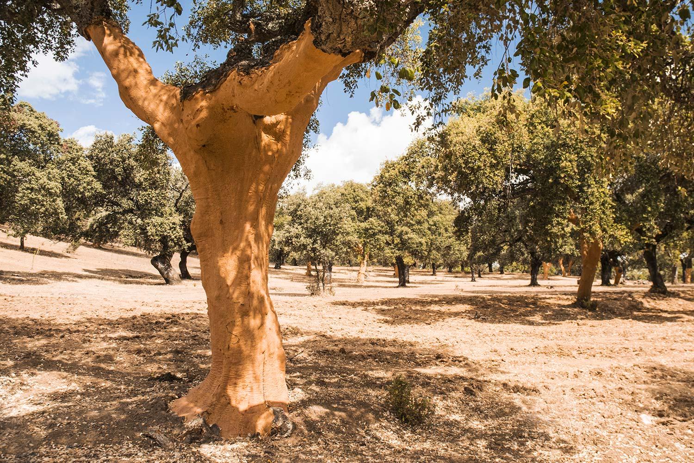 sughero pianta bosco - coverd